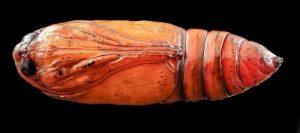 parassiti del colon